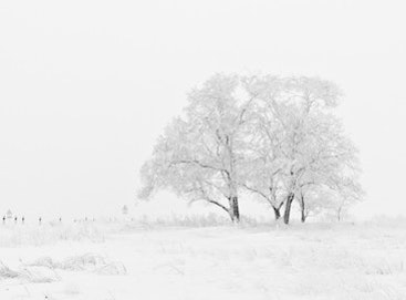 A lone snow-covered tree in a snowy field