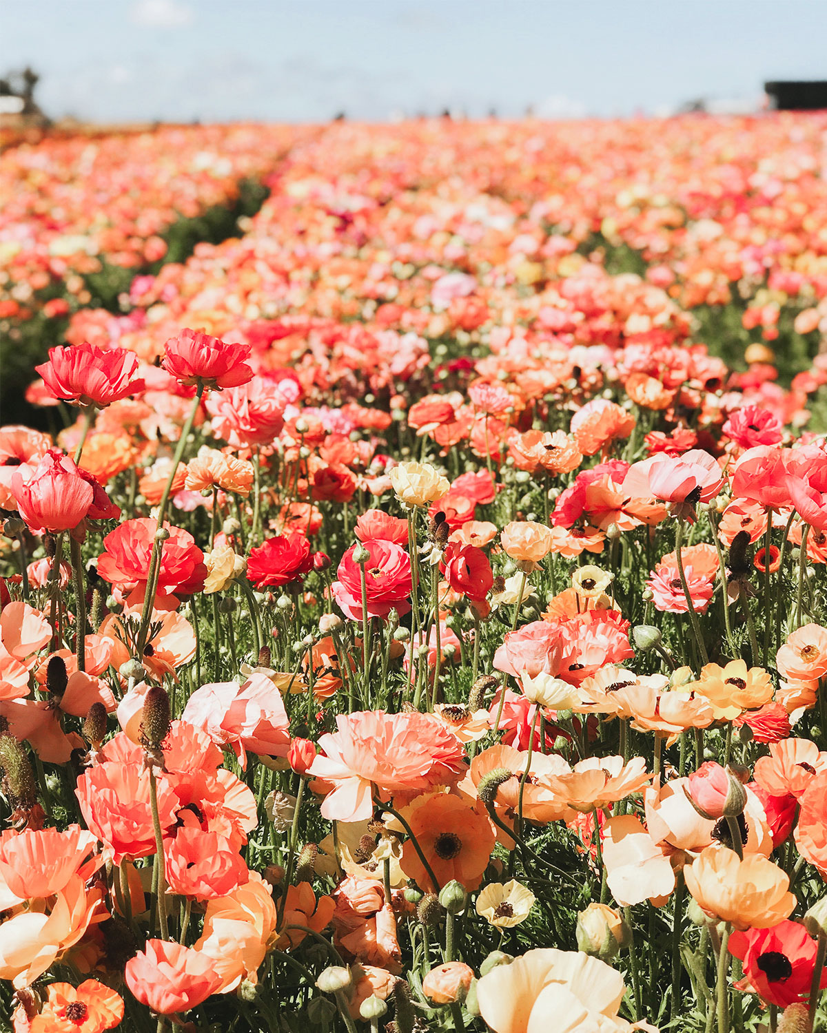 Photo of endless flower field