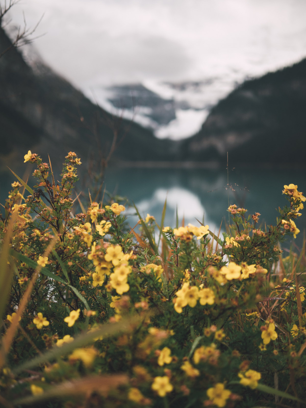 Yellow wildflowers in focus with blurred mountain backdrop