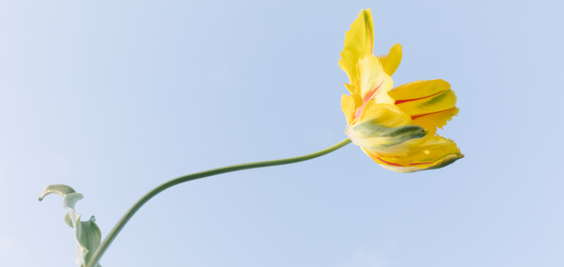 Photo by Daeja Fallas of tulip in the sun