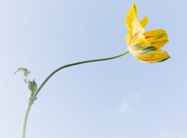 Photo by Daeja Fallas of a single tulip in the sun
