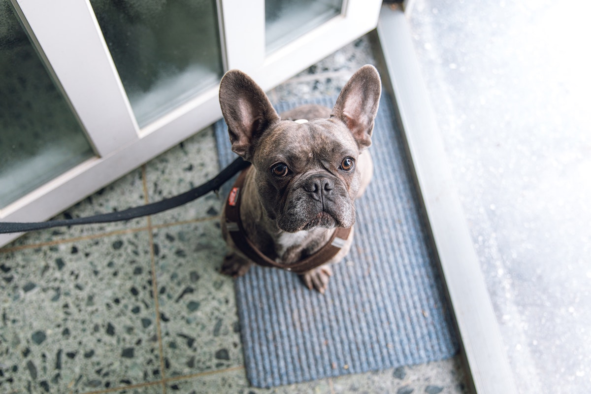 French bulldog on leash waiting patiently to go on a walk