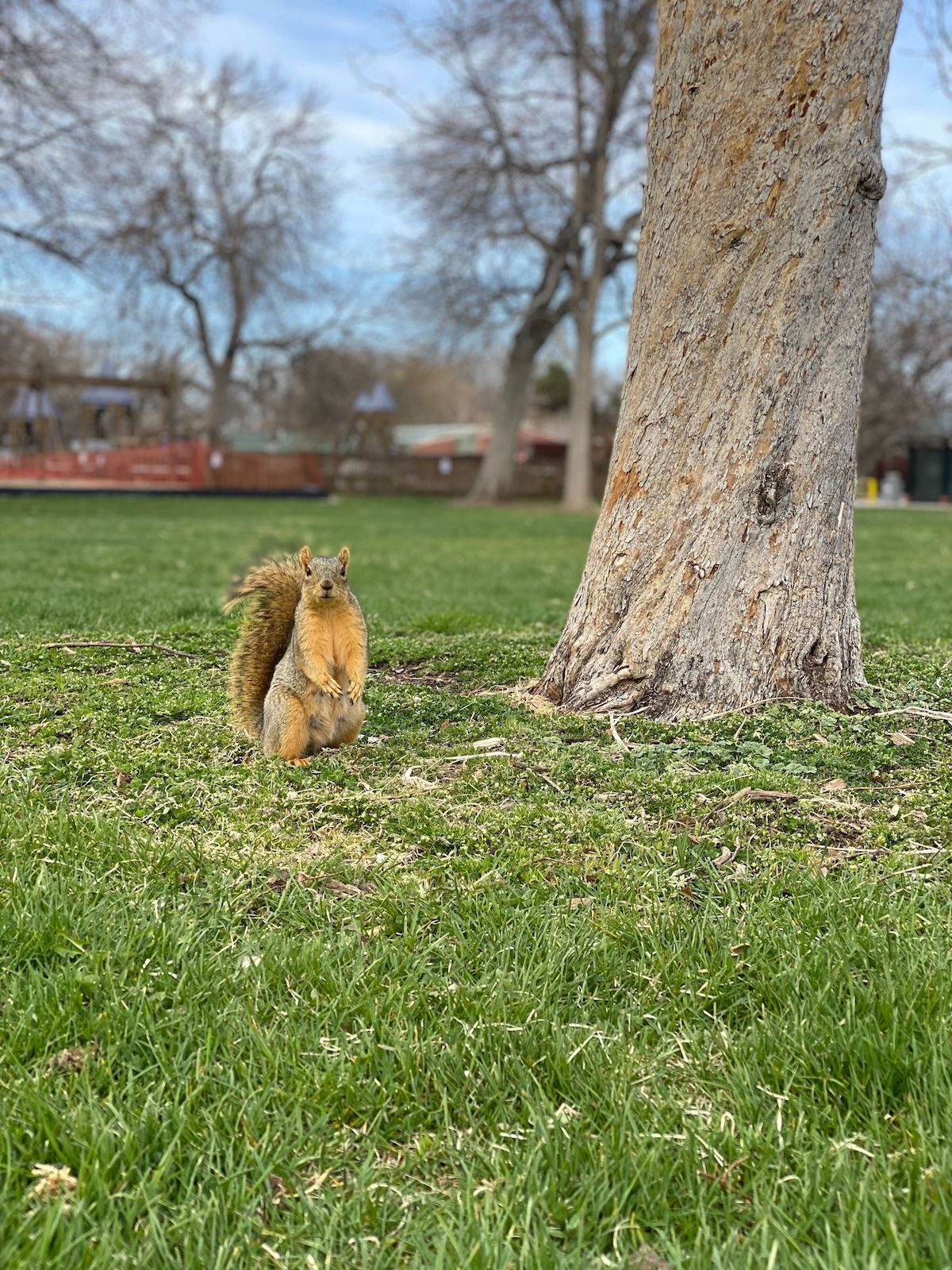 Squirrel Looking at Camera while standing by a tree in a park