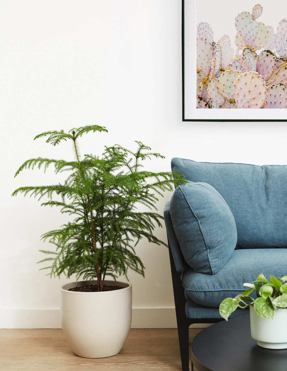 Norfolk pine beside a blue couch with a large Modern Metal Frame of a cactus hanging above