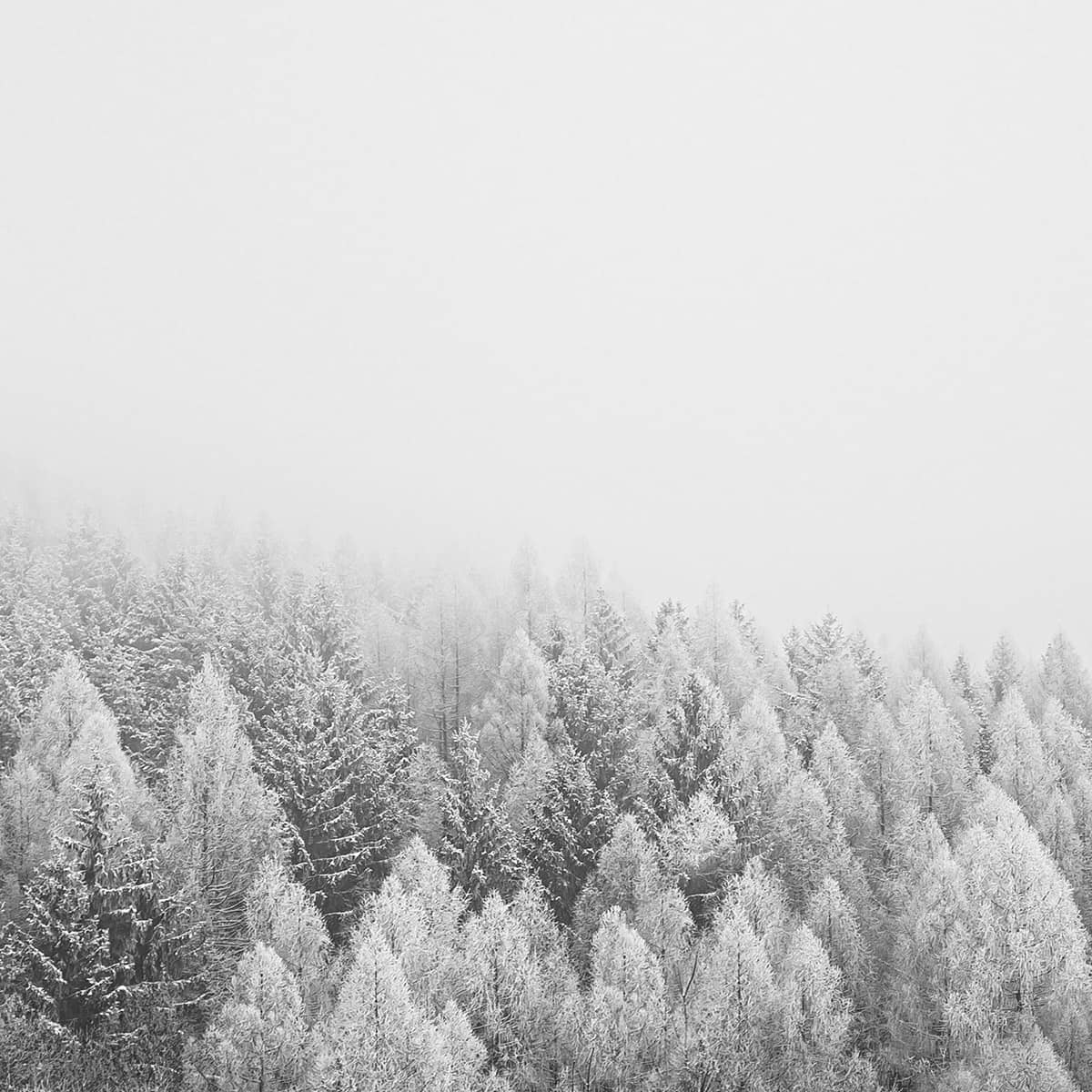 Forest of snowy trees amidst a foggy backdrop creating monotone landscape
