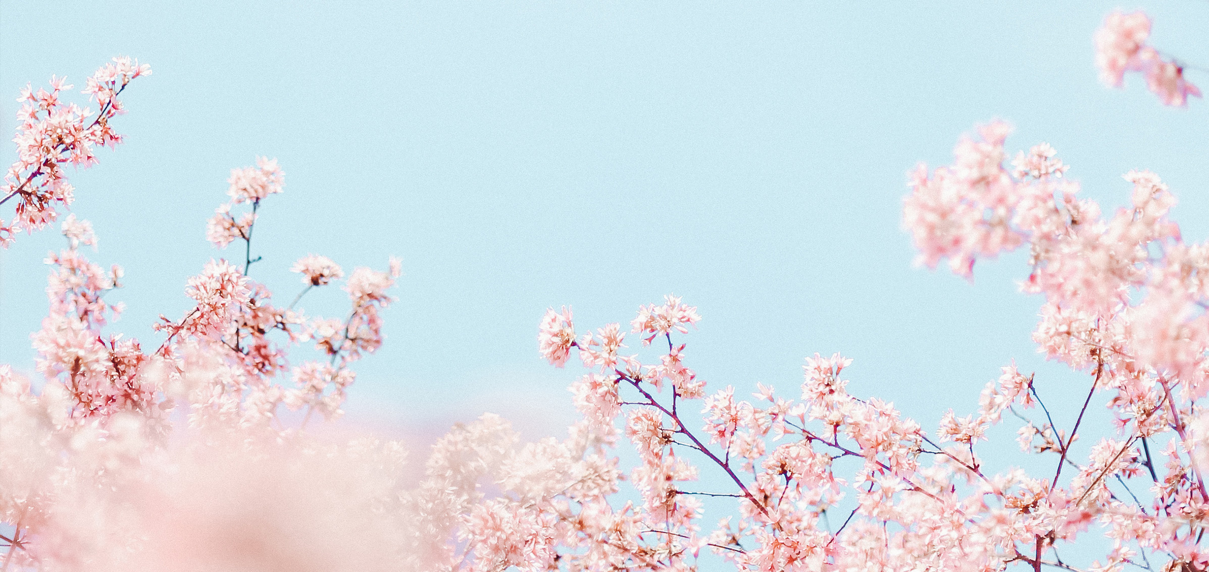 Tree branches filled with pink blooms